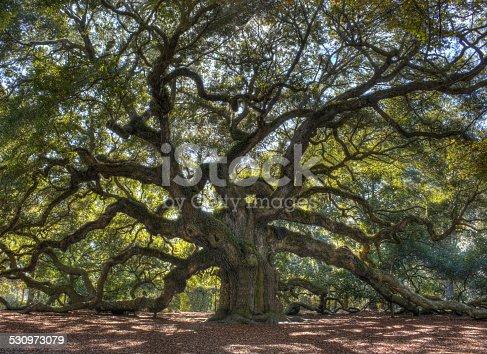 istock Angle Oak Tree 530973079