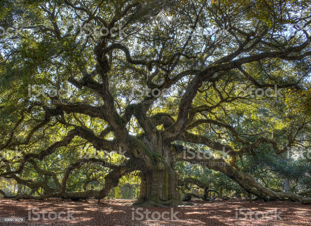 Angle Oak Tree stock photo