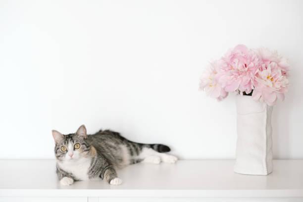 winkel der weißen und grauen wände im zimmer. auf der kommode steht weiße vase mit rosa blumen, blühende pfingstrosen und katze. - katzenschrank stock-fotos und bilder