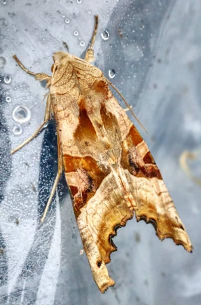 Angle Shade Moth stock photo