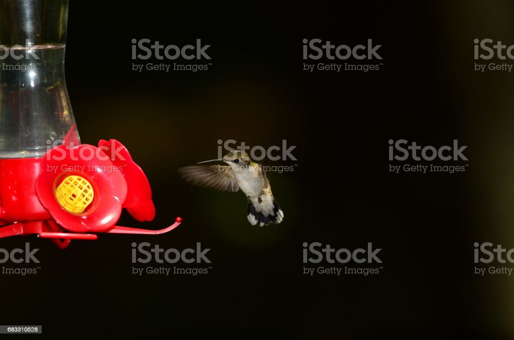 Angled front view of hovering Hummingbird about to land on feeder foto stock royalty-free
