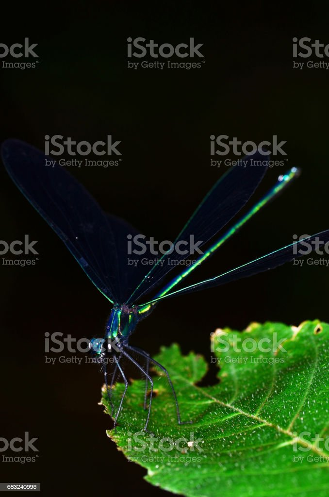 Angled front view of iridescent green damselfly with wings open 免版稅 stock photo