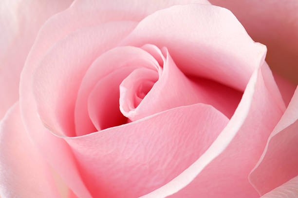 Angled view of an opening Pink Rose stock photo