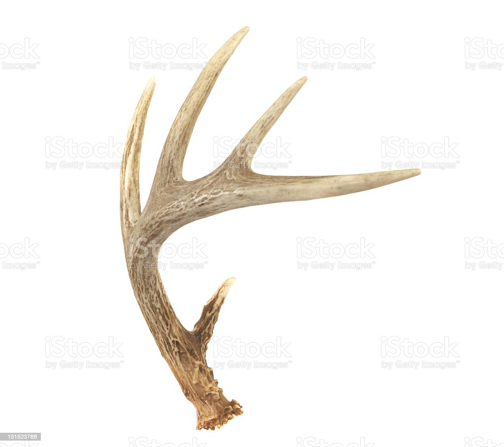 Angled Whitetail Deer Antler stock photo