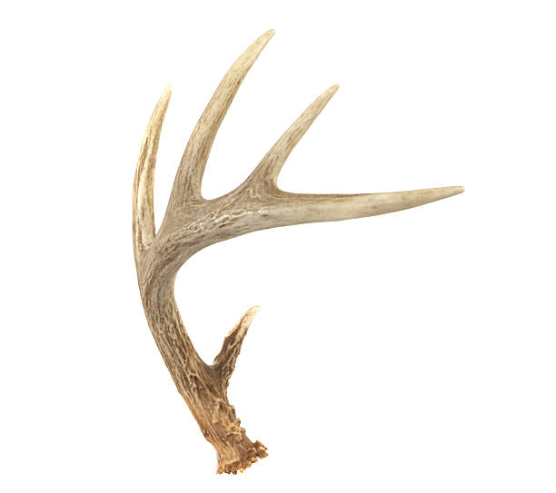 angled whitetail deer antler - antlers stock photos and pictures