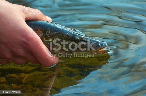 139888169istockphoto Angler releases caught pike back into the lake. 1140672625