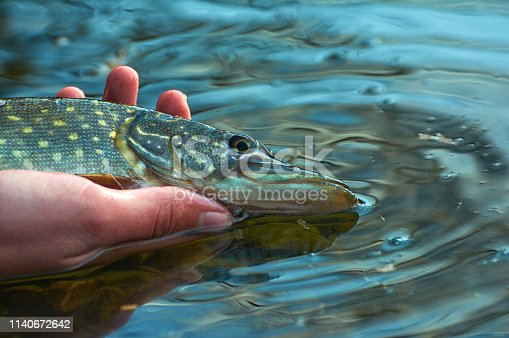 139888169istockphoto Angler releases caught pike back into the lake. 1140672642