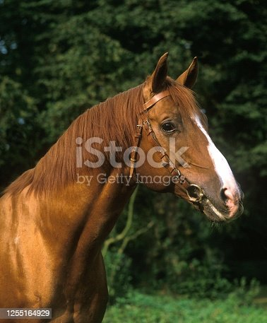 istock Anglo Arab Horse, Portrait with Halter 1255164929