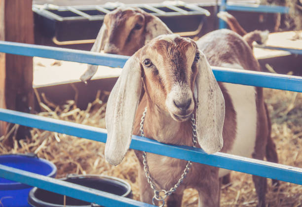 Anglo-Nubian lop earred goats on display in their pen at the county fair stock photo