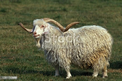 Angora Goat, Breed producing Mohair Wool, Billy-goat with long Horns