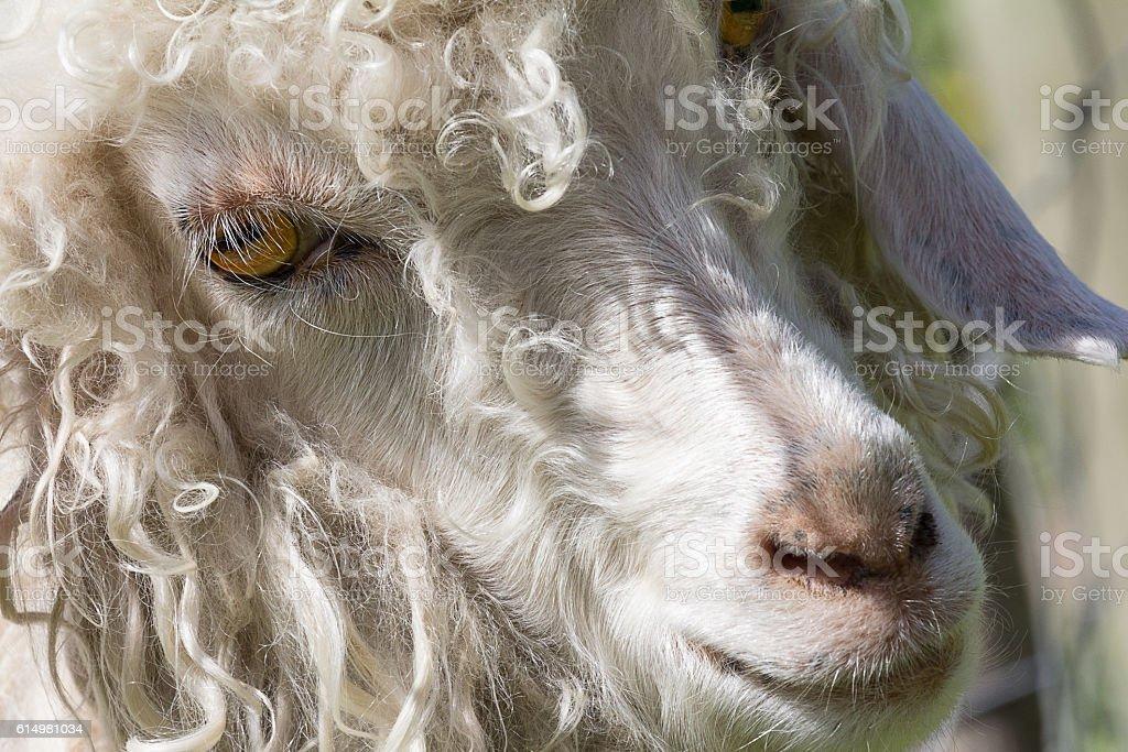 angora goat face stock photo
