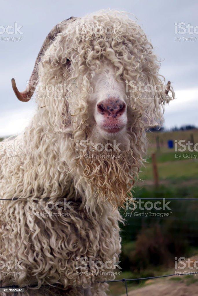 Angora Goat Headshot stock photo