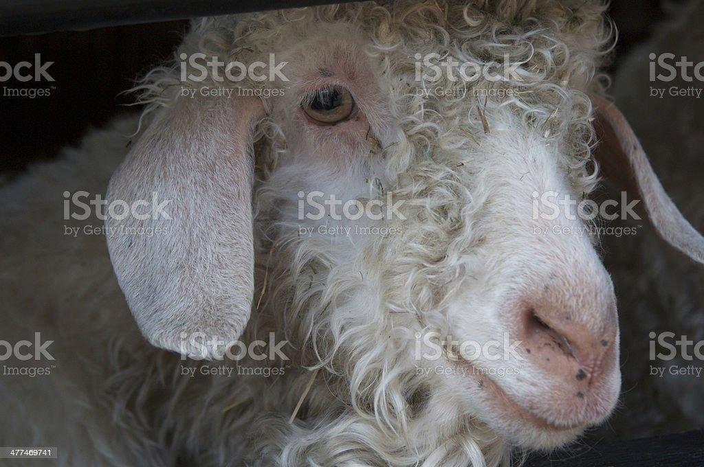 Angora goat, Home Farm, Tatton Park, Knutsford, Cheshire stock photo