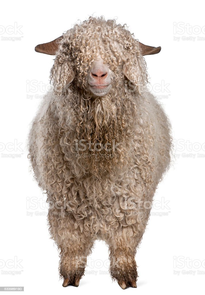 Angora goat in front of white background stock photo