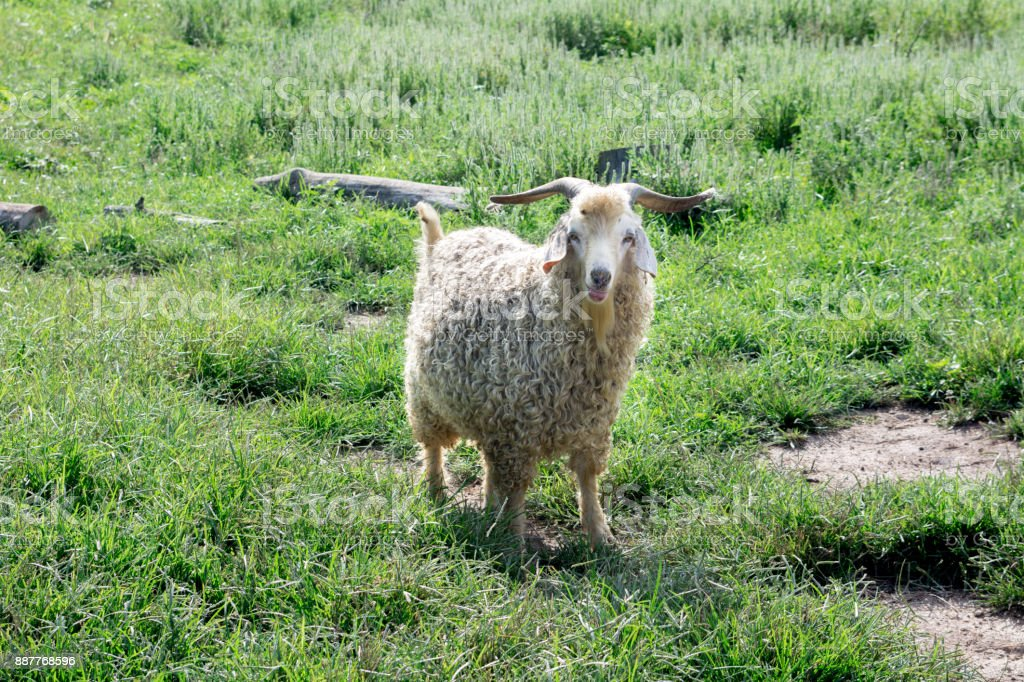 Angora goat in grassy field with its tongue out stock photo