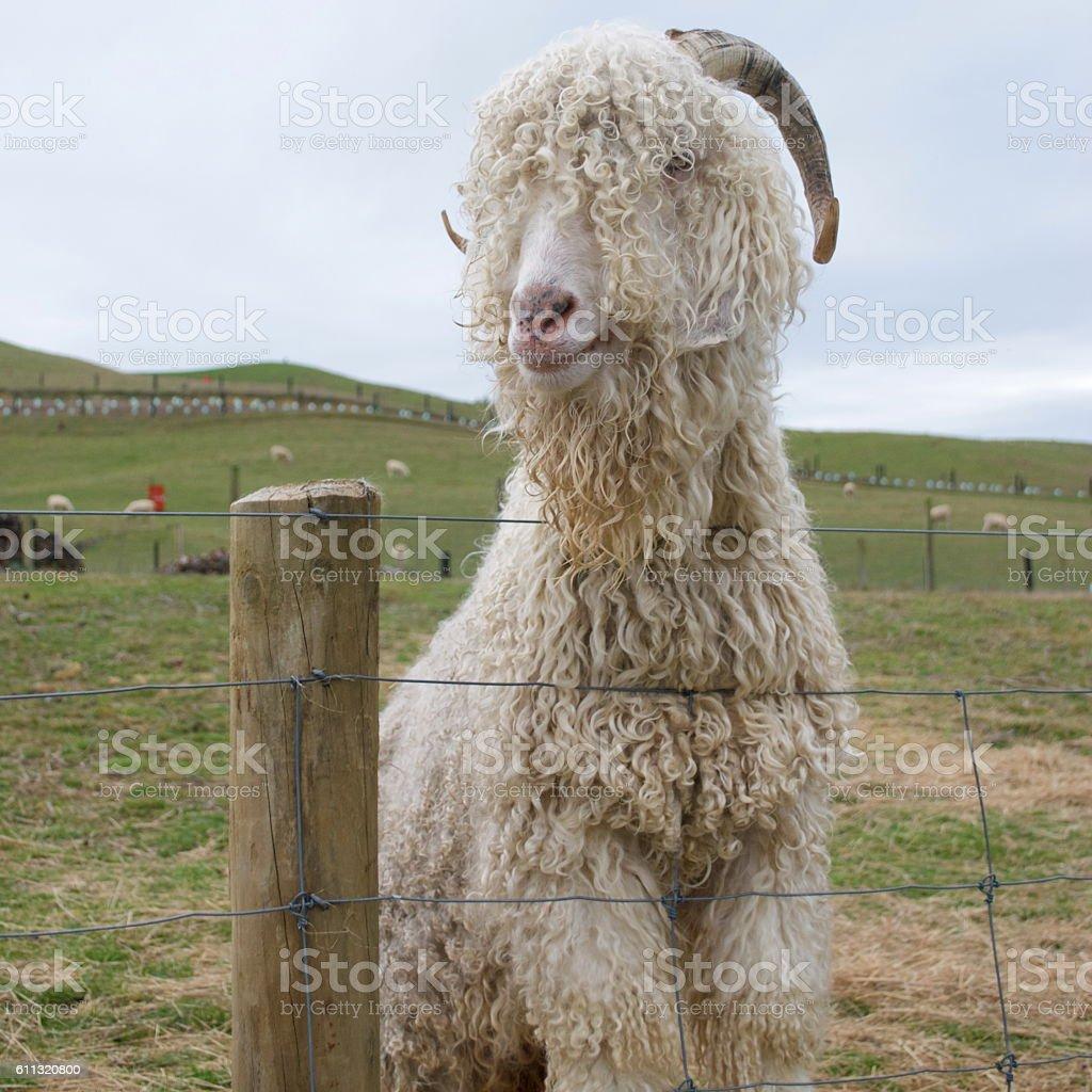 Angora Goat stock photo