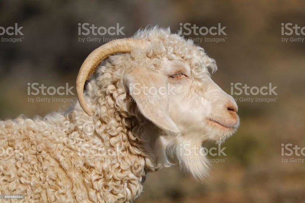 Angora goat portrait stock photo