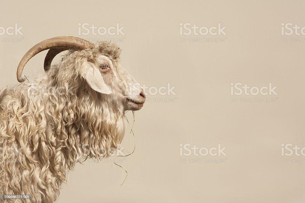 Angora goat, side view stock photo