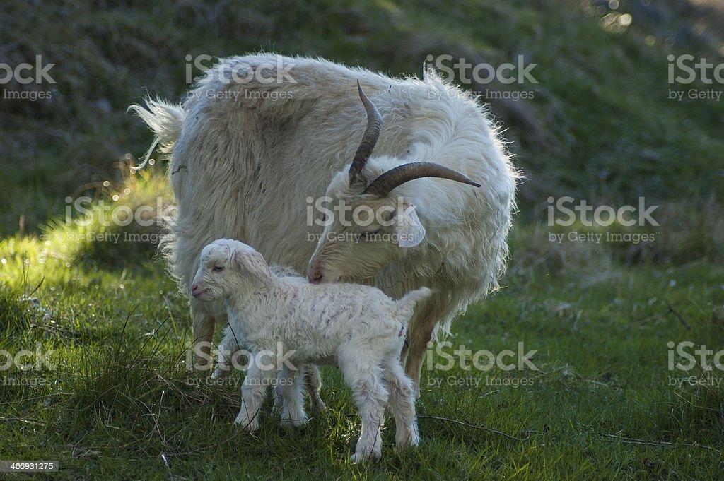 Angora Goat with kids stock photo