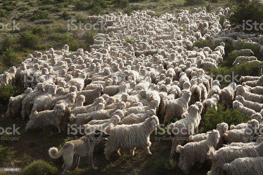 Angora goats Anatolian Dog stock photo