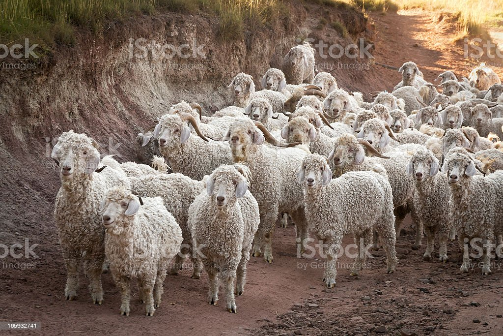 Angora Goats and Sheep on the way to their Pens stock photo