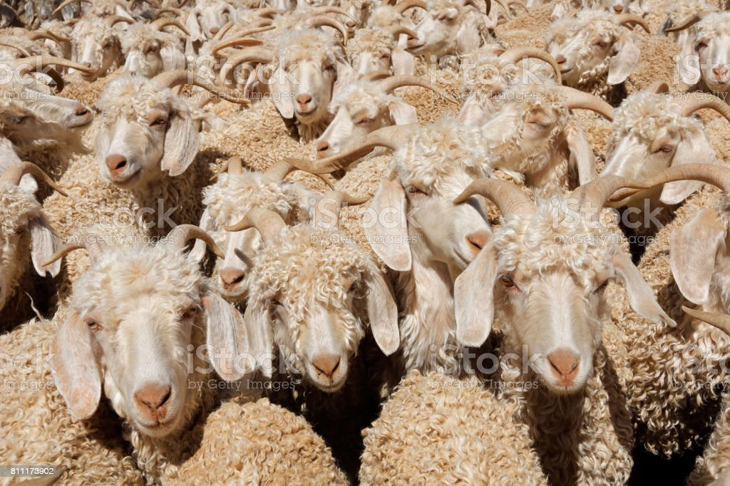 Angora goats crammed in a paddock stock photo