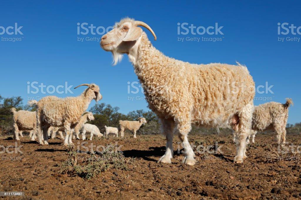 Angora goats on a rural African free-range farm stock photo