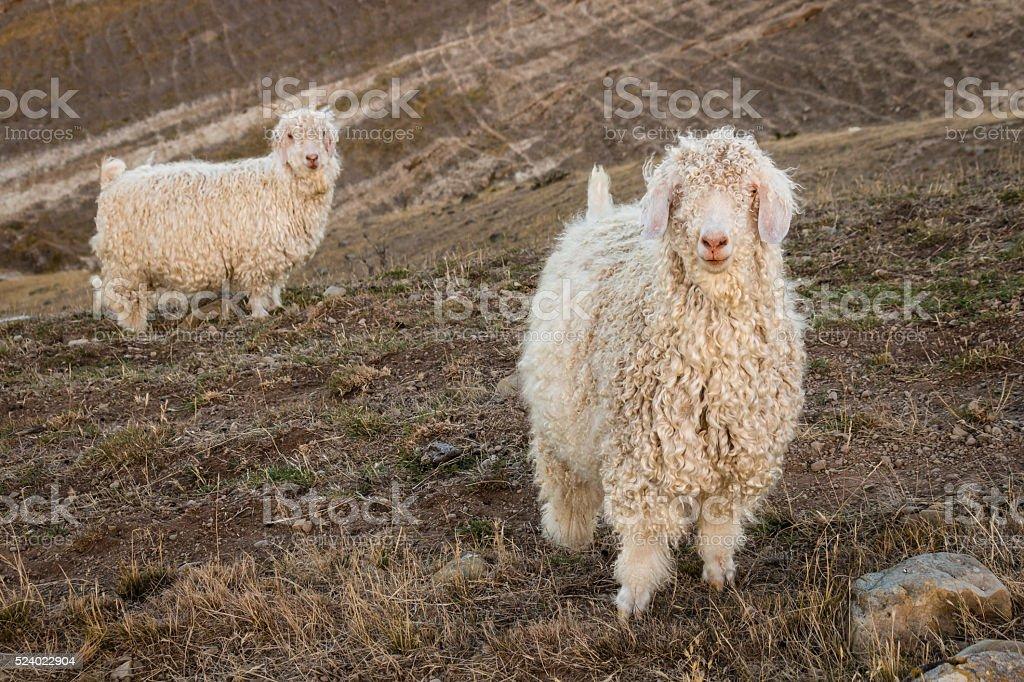 angora goats on grassy slope stock photo