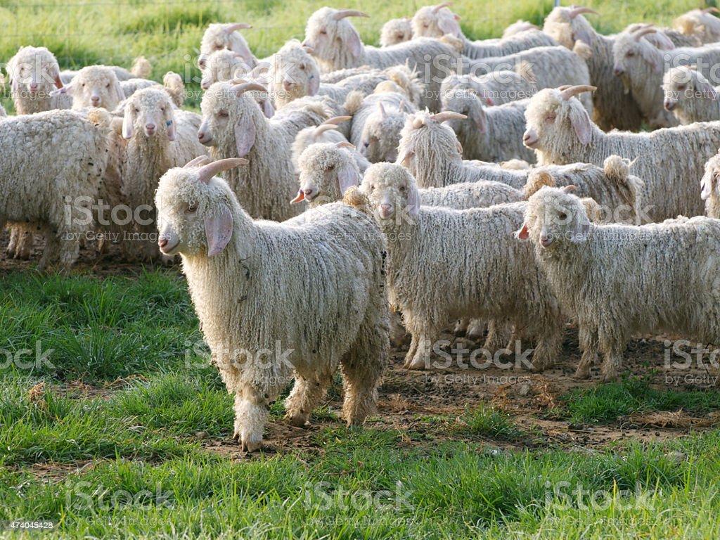 Angora Goats stock photo