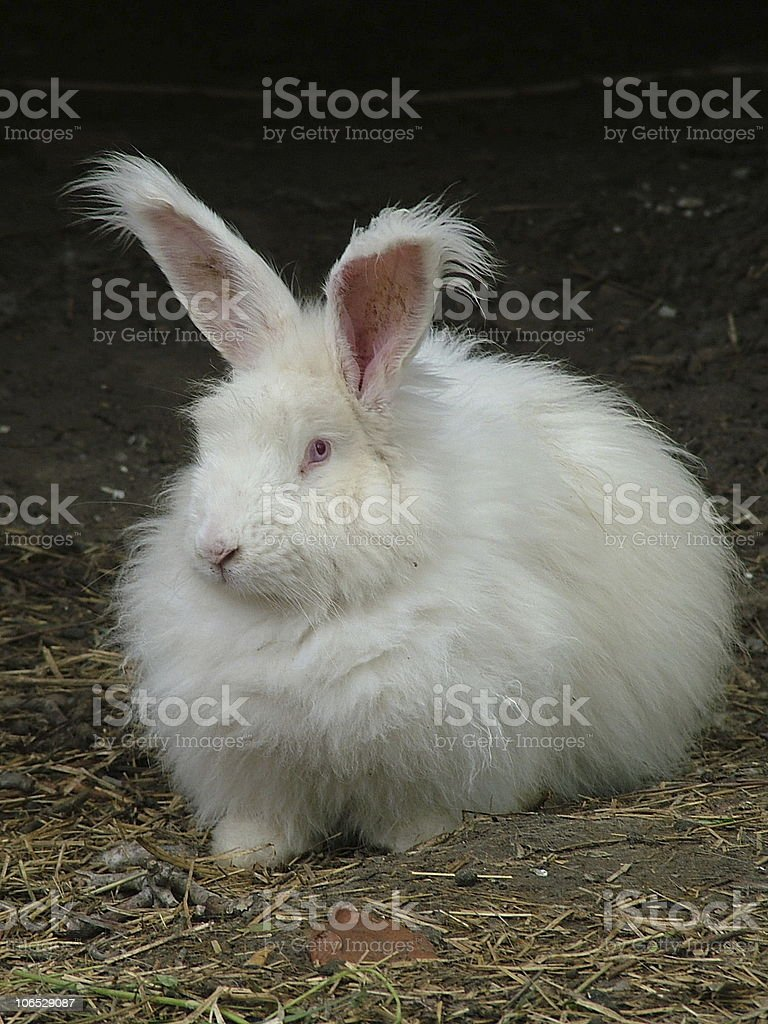 Angora Rabbit stock photo