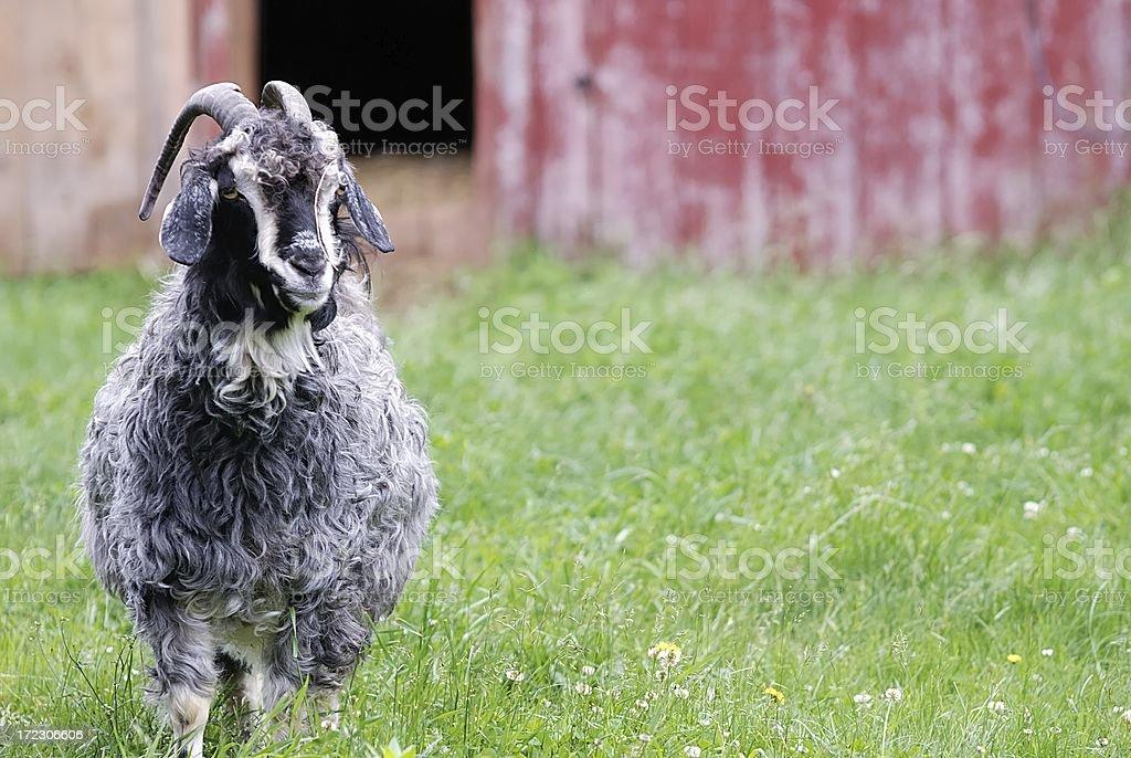 angora sheep stock photo