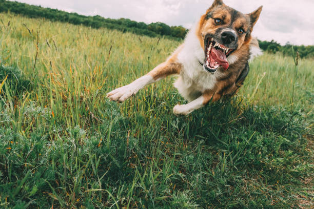 Angry Aggressive Mad Dog Running Outdoors In Green Meadow On Camera stock photo