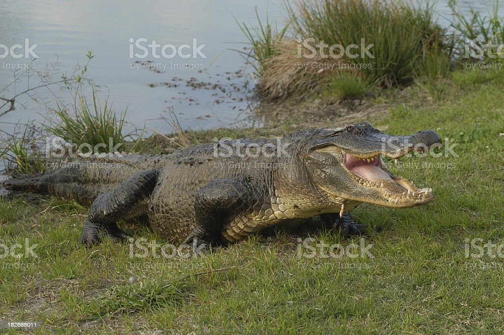 Angry Alligator stock photo