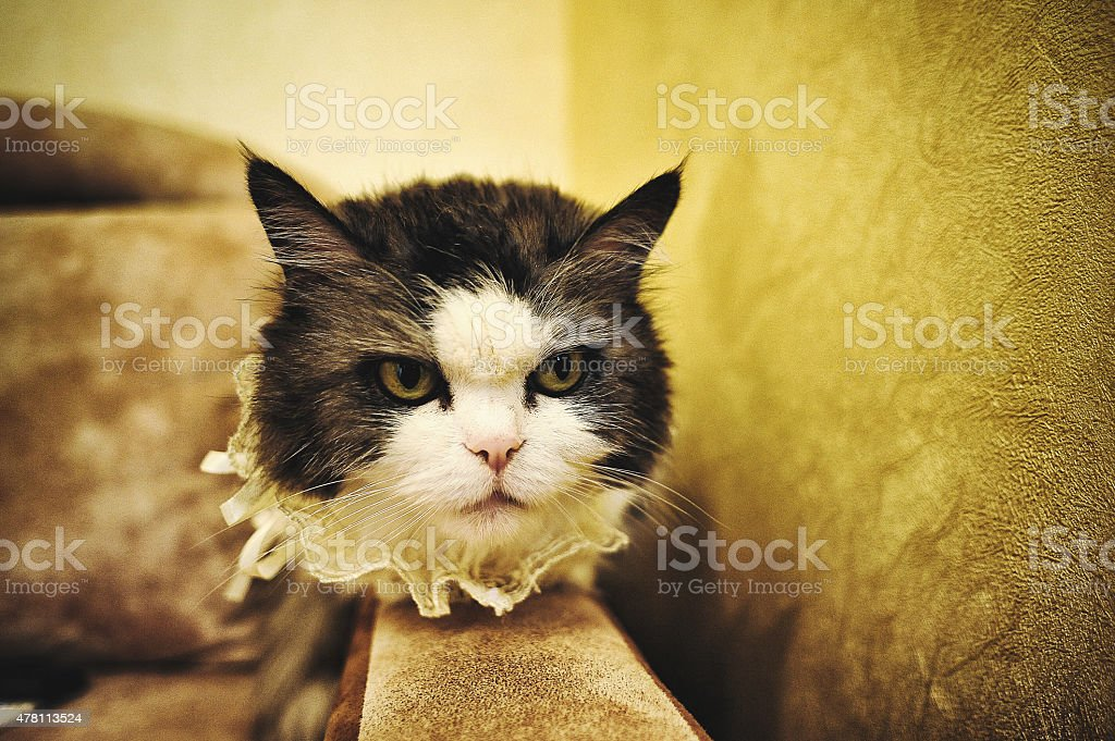angry and funny wedding cat stock photo
