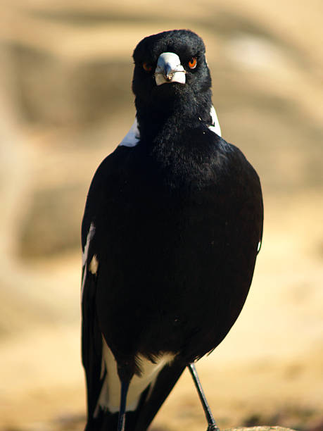 Angry Australian Magpie stock photo