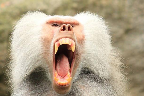 Angry Baboom Closeup stock photo