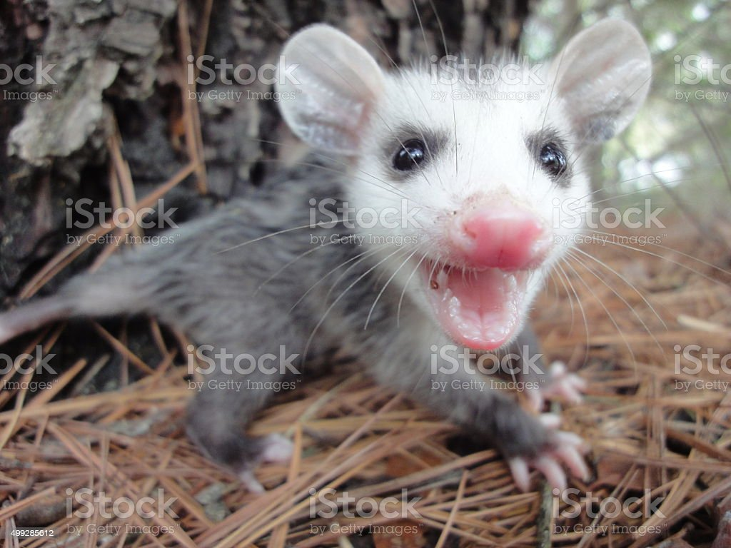 Angry Baby Opossum stock photo