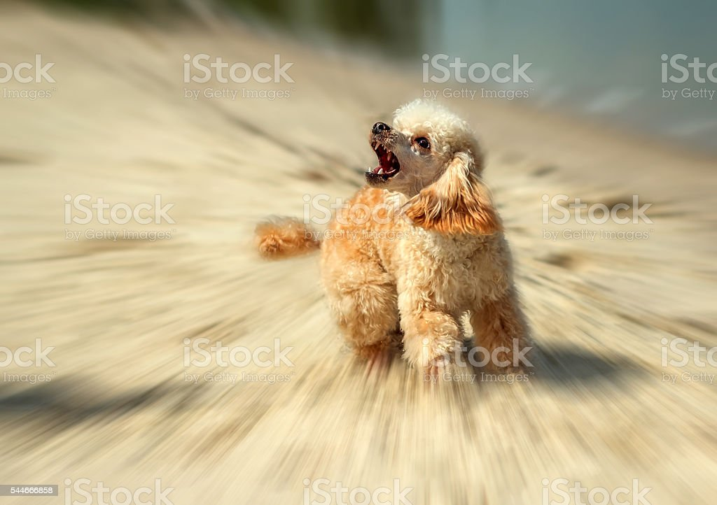 angry barking dog attack on the  blurred background. stock photo