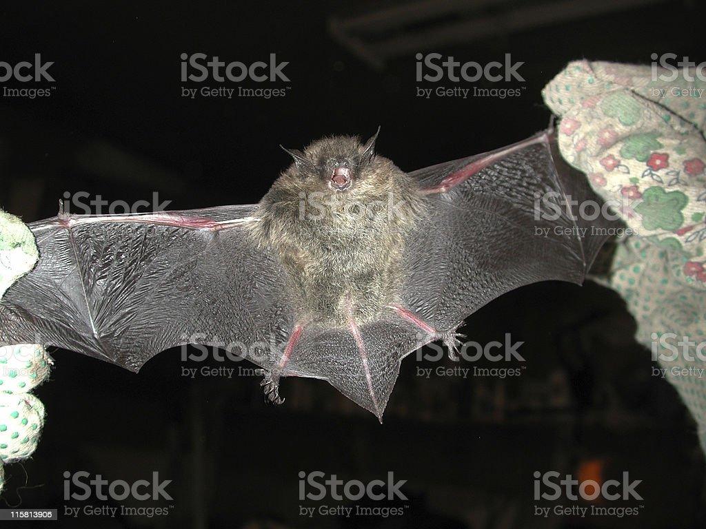 Angry Bat stock photo