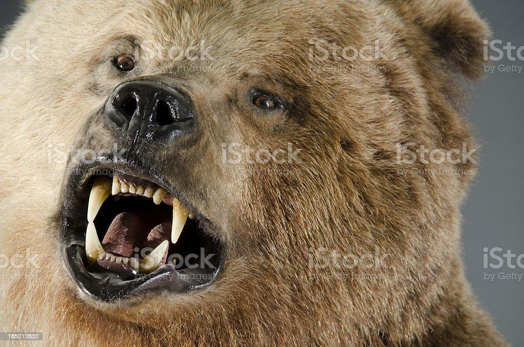 Angry Bear Face stock photo