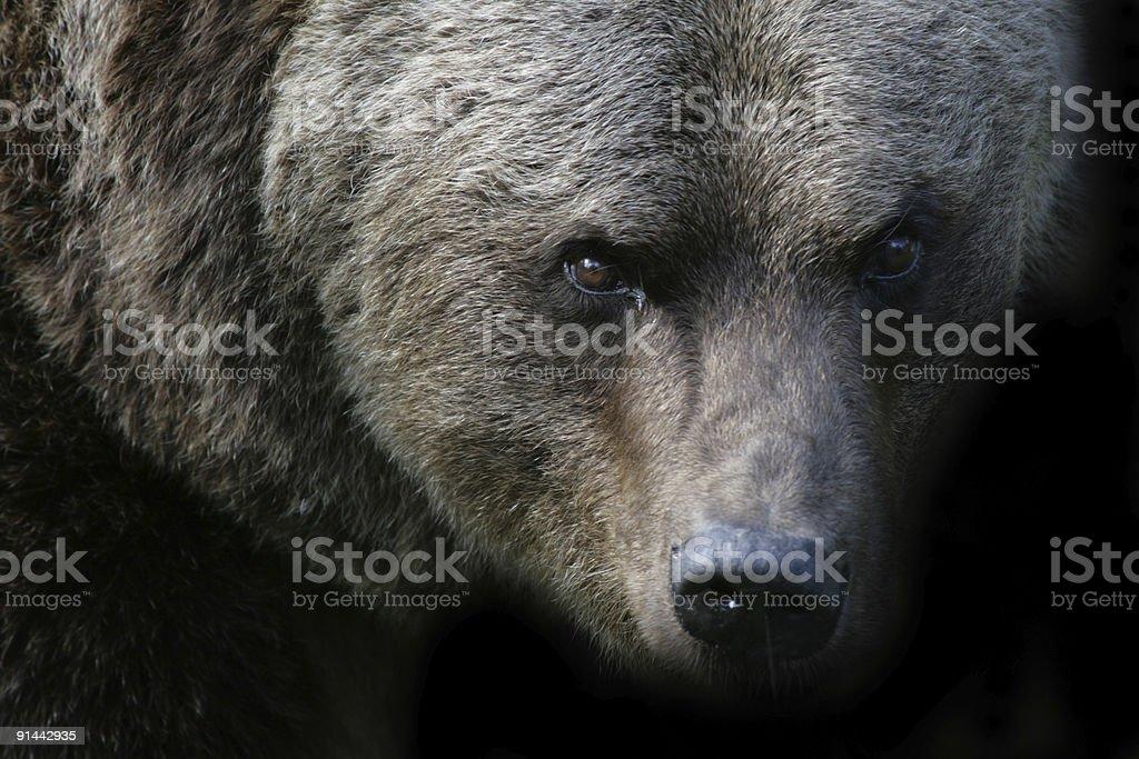 Angry bear stock photo