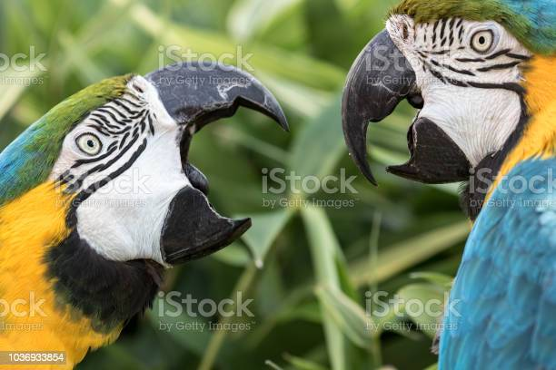 Photo of Angry birds. Domestic squabble fight of two Blue-and-gold macaw parrots