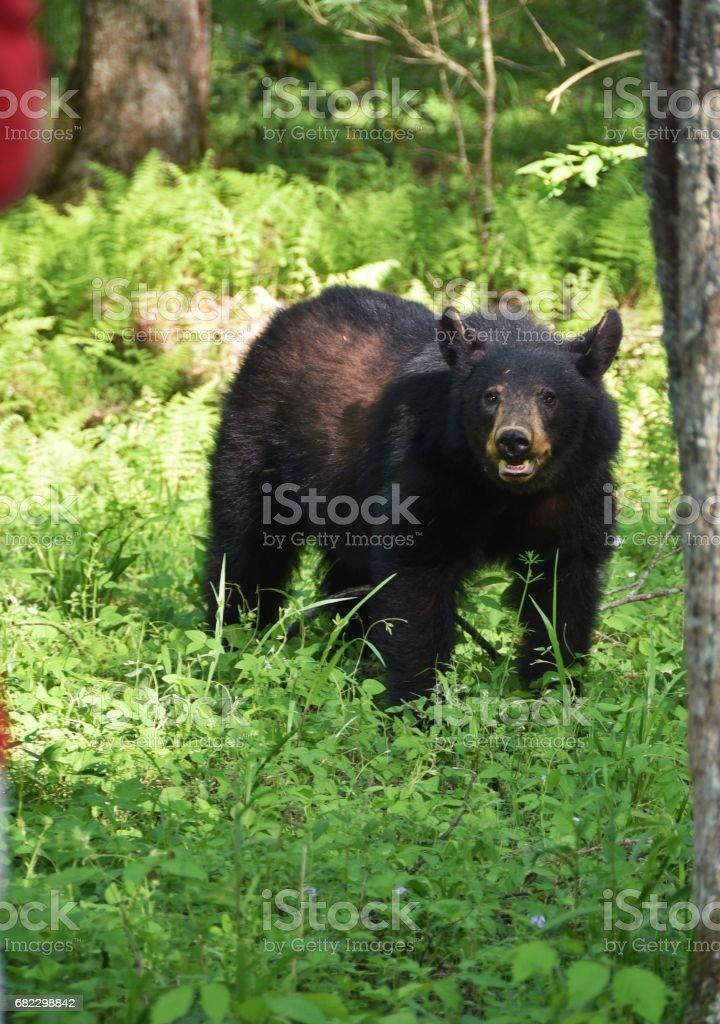 Angry Black Bear stock photo
