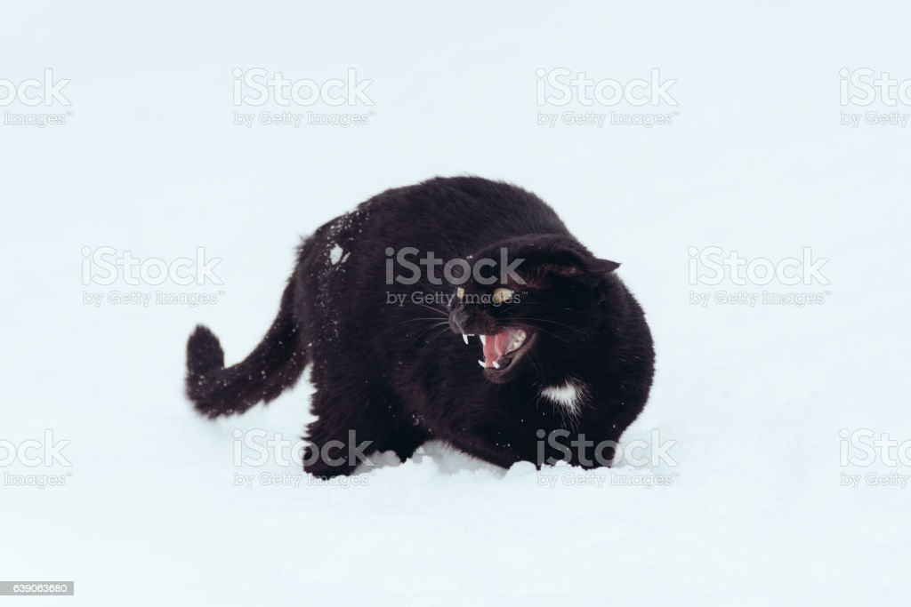 Angry black cat on white background stock photo