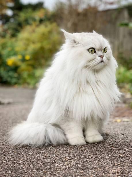 Chat British Longhair en colère dans la rue, Angleterre - Photo