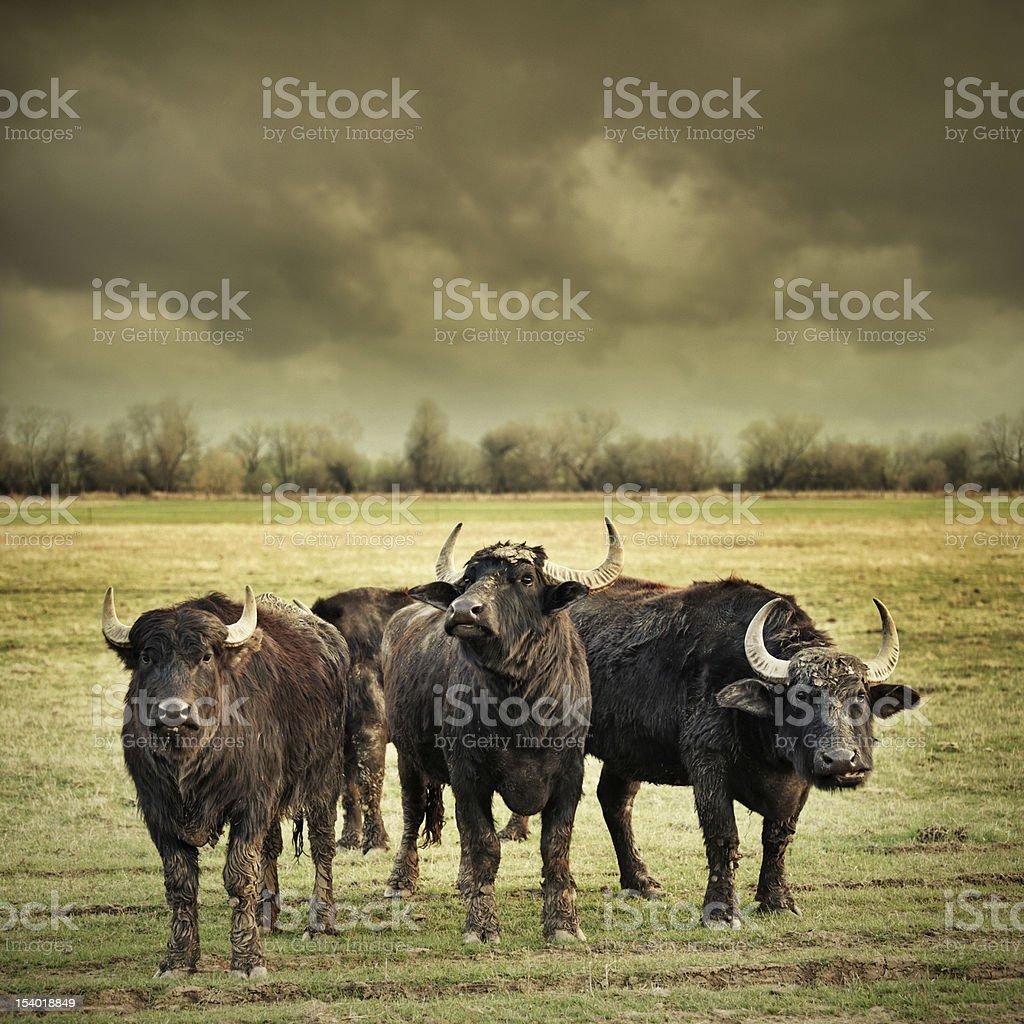 angry buffalos stock photo