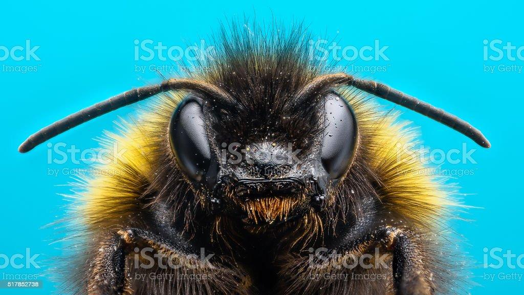 Angry Bumblebee stock photo