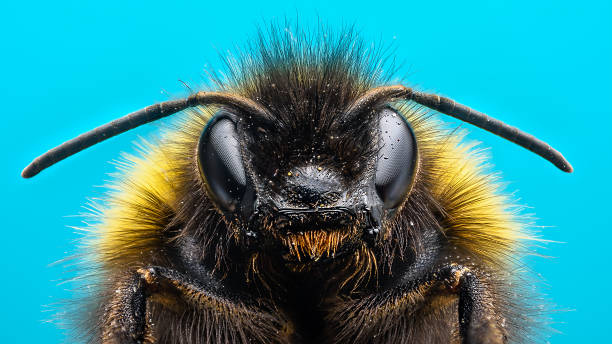 angry bumblebee - bumblebee stock pictures, royalty-free photos & images