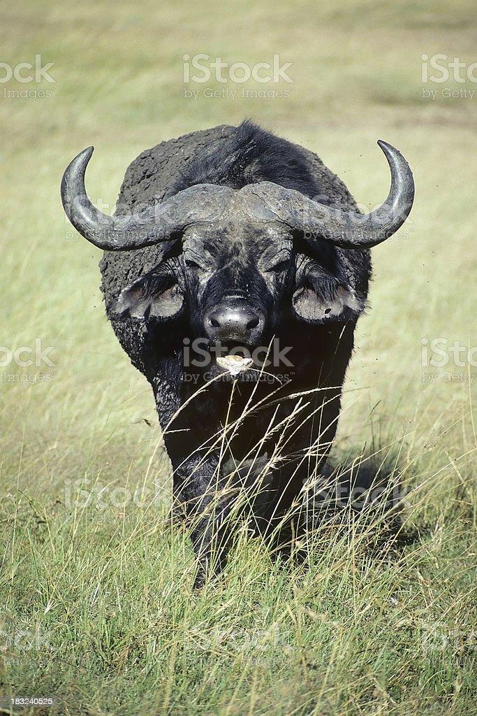 Angry Cape Buffalo stock photo