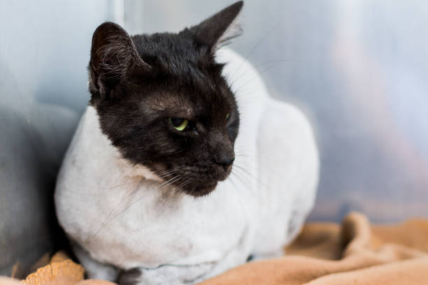 boos kat gezicht op de veterinaire kliniek. cat na kapsel herstellen van sedatie - ketamine stockfoto's en -beelden